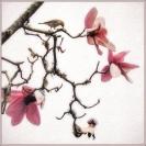 05_magnolias_SMKane